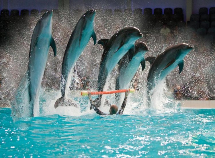 Dolphin Show Regular <br> with Transfer